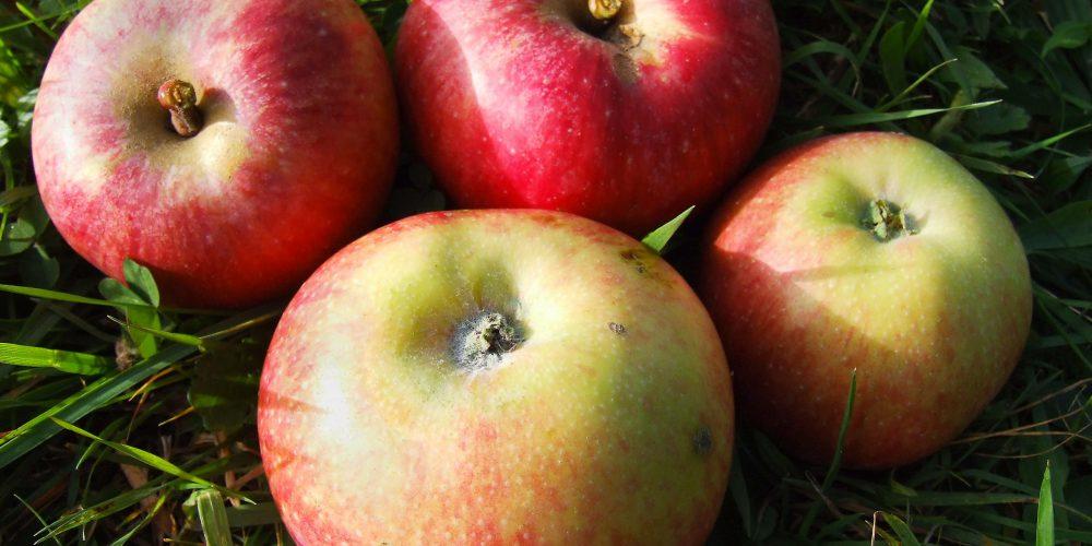 Apfel-Jakob_Fischer